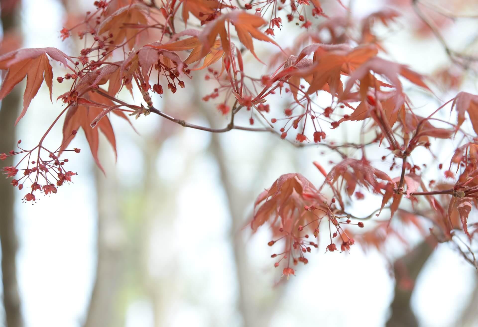 Ahorn Blätter im Herbst